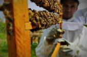 Gram Gram Sağdığı Arı Sütünün Kilosunu 8 Bin Liradan Satıyor