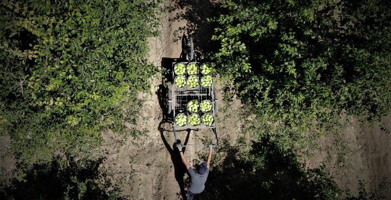 Kestel'de Armut hasadı başladı, çiftçi fiyatlardan memnun